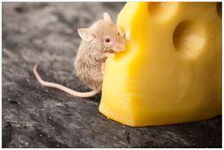 Vliestapete Süße Maus knabbert an einem Käse in der Küche – Bild 1