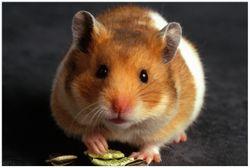 Vliestapete Putziger Hamster mit Nüssen zwischen den Pfoten – Bild 1
