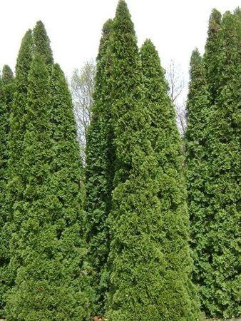 Thuja Smaragd in verschiedenen Höhen 80 - 350 cm – Bild 10