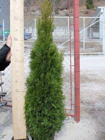 Thuja Smaragd in verschiedenen Höhen 80 - 350 cm – Bild 3