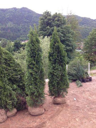 Thuja Smaragd in verschiedenen Höhen 80 - 350 cm – Bild 7
