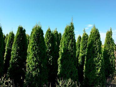 Thuja Smaragd 220 - 240 cm Höhe – Bild 2