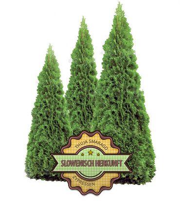 Thuja Smaragd  60 - 80 cm Höhe – Bild 2