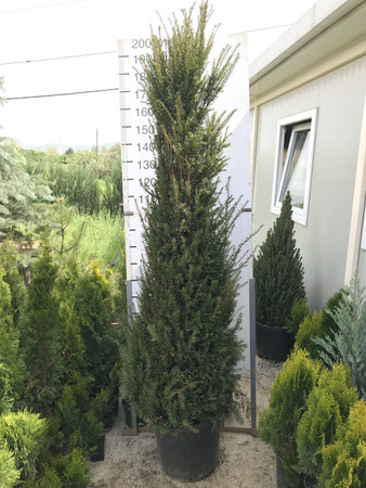 Taxus Baccata 200-225 cm Container Ware im Topf