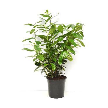 Kirschlorbeer Prunus Novita 100-120 cm – Bild 1