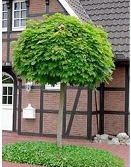 Kugelahorn Acer platanoides Globosum (Stammumfang 14-25 cm) – Bild 2