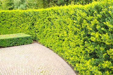 Ilex crenata 'Green Hedge' in verschiedenen Höhen  – Bild 1
