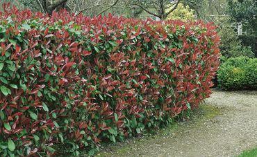 Photinia Red Robin in verschiedenen Höhen