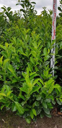 Kirschlorbeer Prunus Rotundifolia in verschiedenen Höhen – Bild 1
