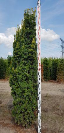 Taxus Fastigiata Aurea in verschiedenen Höhen – Bild 3