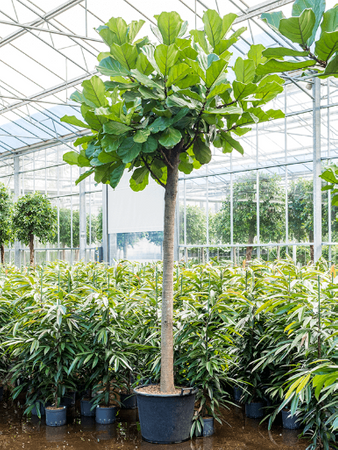 Ficus Lyrata – Bild 1