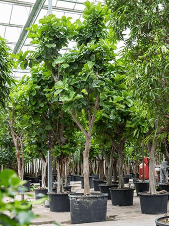 Ficus Lyrata – Bild 8