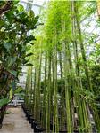 Bambusa siamensis 4-5 Stamm - Höhe: 550 cm 001