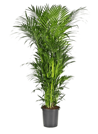 Kentia (howea) fosteriana – Bild 1