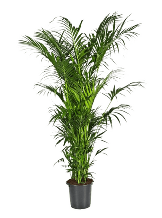Kentia (howea) fosteriana – Bild 2