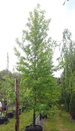 Amberbaum (Liquidambar styraciflua) (Stammumfang 16-25 cm)