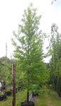 Amberbaum (Liquidambar styraciflua) (Stammumfang 16-25 cm) 001
