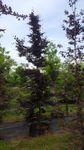 Fagus sylvatica 'Atropurpurea'  - Blutbuche 'Atropurpurea' (Stammumfang 12-25 cm) 001