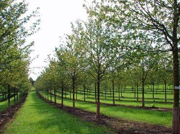 Acer Campestre - Feldahorn (Stammumfang 12-25cm)