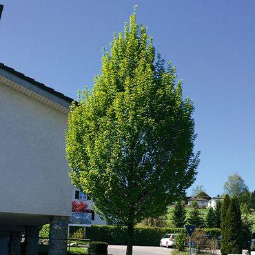 Carpinus Betulus 'Fastigiata' - (Stammumfang 14-25 cm)