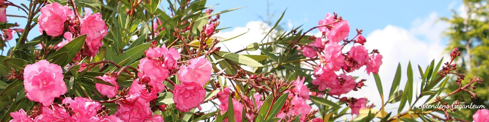 Über unsere Oleander