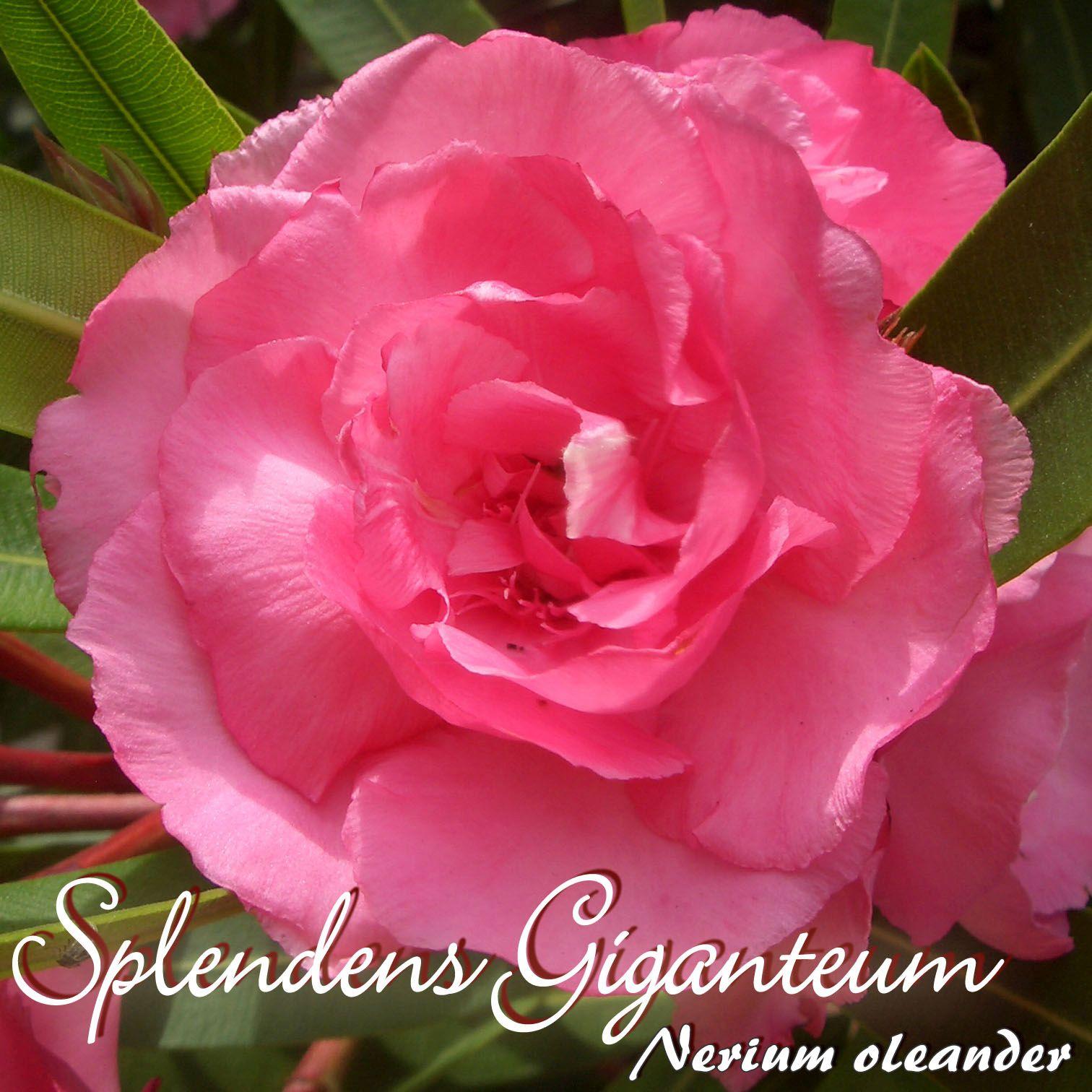 Oleandersortiment