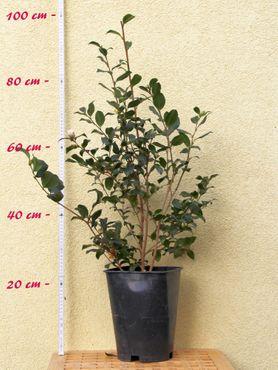"""Kamelie """"Agnes O. Salomon"""" - Camellia sasanqua - 5 bis 6-jährige Pflanze"""