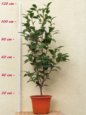 "Kamelie ""Alba Plena"" - Camellia japonica - 6 bis 7-jährige Pflanze"