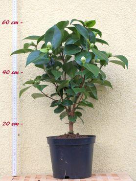 "Kamelie ""Anticipation"" - Camellia x williamsii - 4 bis 5-jährige Pflanze"