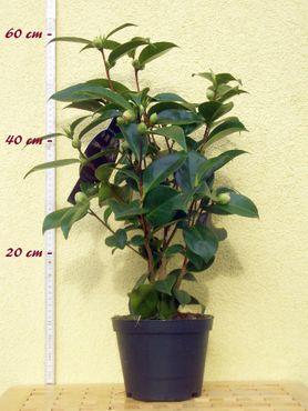 """Kamelie """"Barbara Morgan"""" - Camellia japonica - 3 bis 4-jährige Pflanze"""