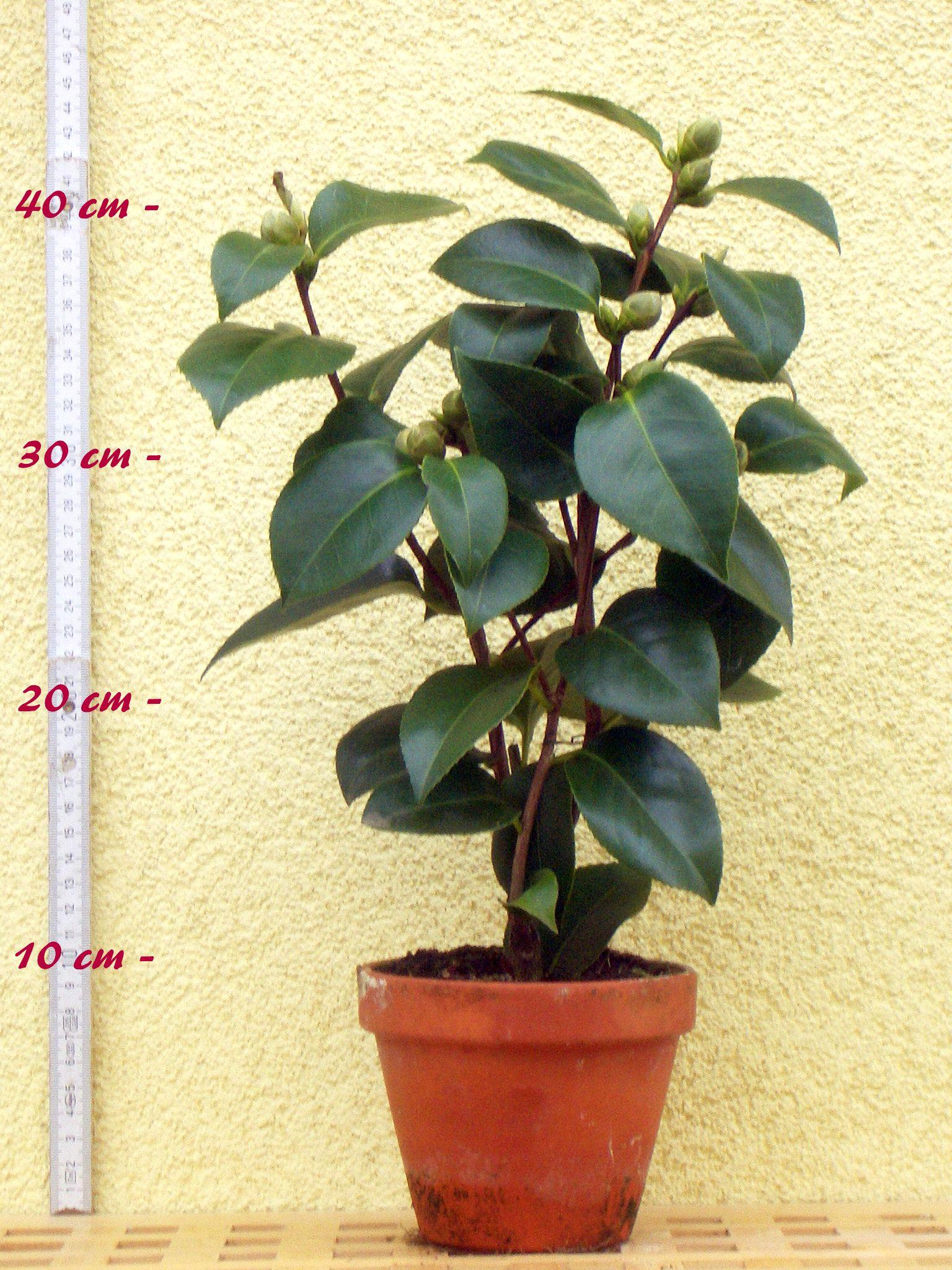 kamelie bergpalais camellia 3 j hrige pflanze oleandershop. Black Bedroom Furniture Sets. Home Design Ideas