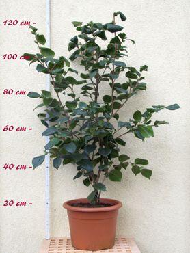 "Kamelie ""Brushfields Yellow"" - Camellia japonica - 7 bis 8-jährige Pflanze"