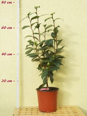 """Kamelie """"California"""" - Camellia japonica - 4-jährige Pflanze"""