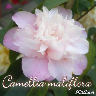"Kamelie ""Camellia maliflora"" - Wildart - 5 bis 6-jährige Pflanze"