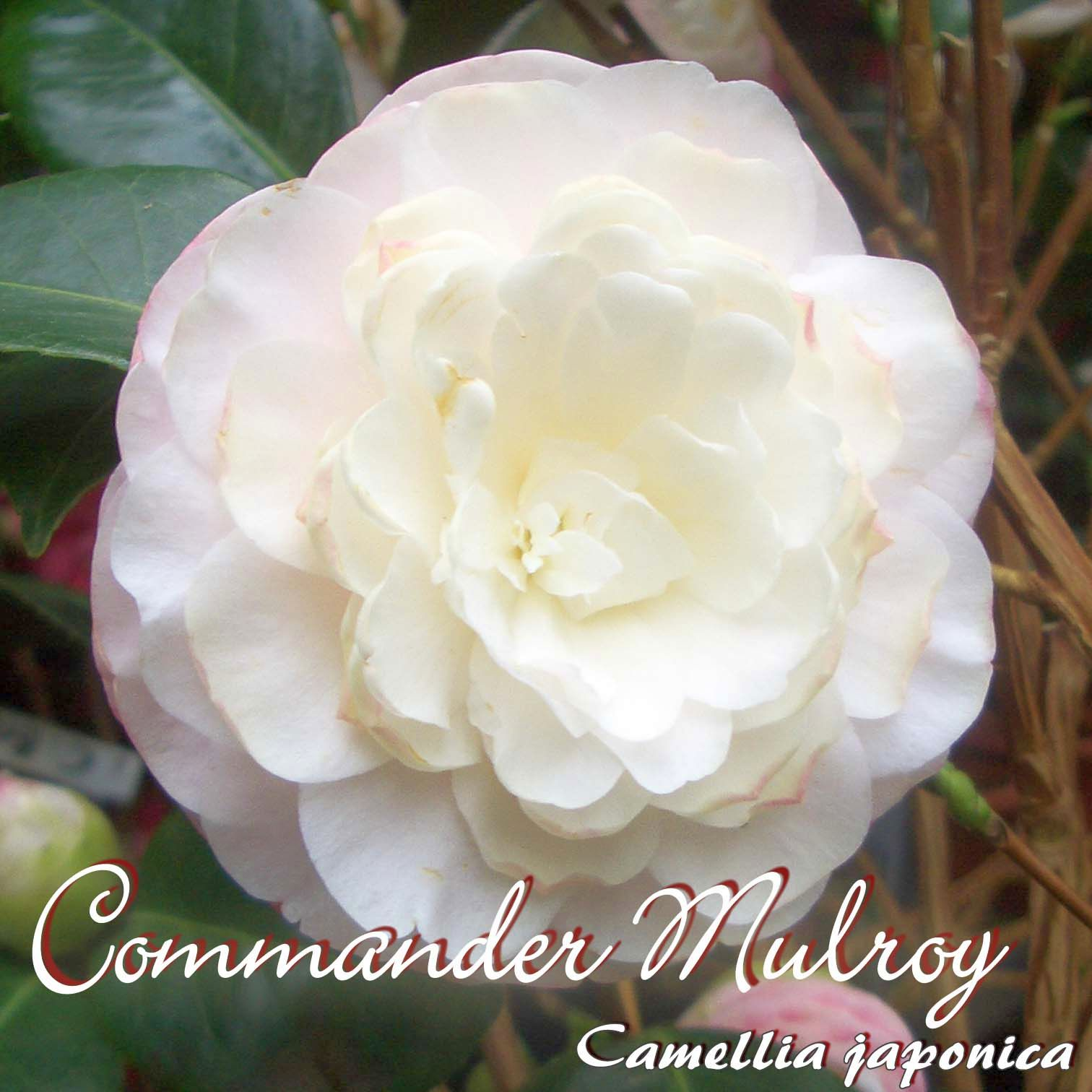 "4 bis 5-jährige Pflanze Camellia japonica Kamelie /""Commander Mulroy/"""