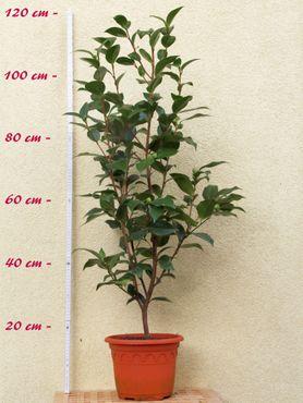"""Kamelie """"Dahlohnega"""" - Camellia japonica - 6 bis 7-jährige Pflanze"""