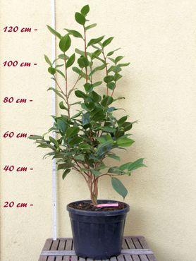 "Kamelie ""Dr. Clifford Parks"" - Camellia reticulata x Camellia japonica - 7 bis 8-jährige Pflanze"