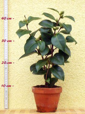 "Kamelie ""Dr. Louis Polizzi"" - Camellia saluensis x Camellia reticulata - 3-jährige Pflanze"