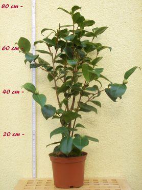 "Kamelie ""Dr. Louis Polizzi"" - Camellia saluensis x Camellia reticulata - 4 bis 5-jährige Pflanze"