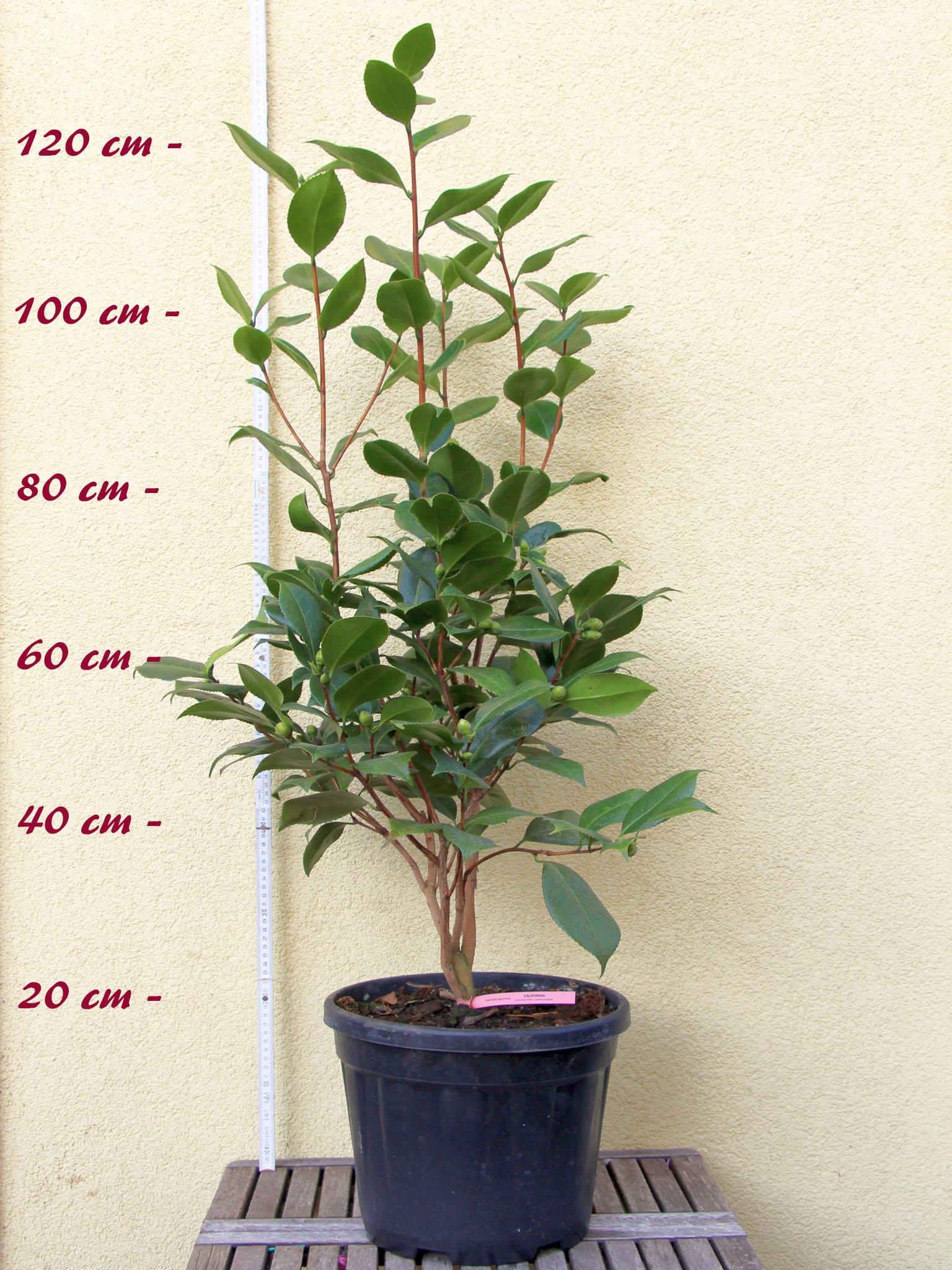 kamelie hiodoshi camellia japonica higo 7 bis 8. Black Bedroom Furniture Sets. Home Design Ideas