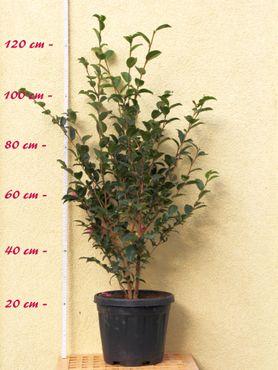 "Kamelie ""Jeniffer Susan"" - Camellia sasanqua - 7 bis 8-jährige Pflanze"
