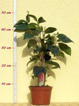 "Kamelie ""Lady Campbell"" - Camellia japonica - 2-jährige Pflanze"