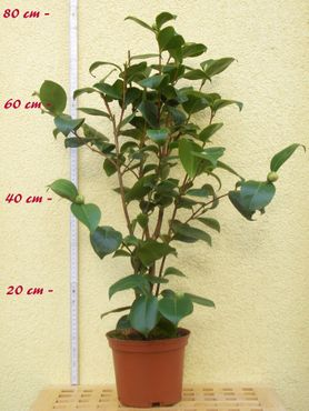 "Kamelie ""Maggi Maculata"" - Camellia - 4 bis 5-jährige Pflanze"