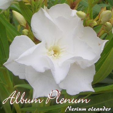 """Oleander """"Album Plenum"""" - Nerium oleander - Größe C1,4 im Rechtecktopf"""
