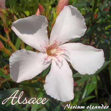 "Oleander ""Alsace"" - Nerium oleander - Größe C03 im Dekotopf"
