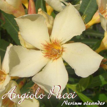 "Oleander ""Angiolo Pucci"" - Nerium oleander - Größe C15"