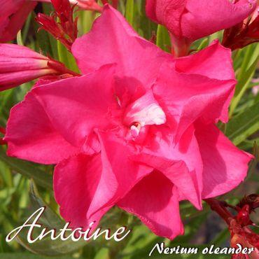 "Oleander ""Antoine"" - Nerium oleander - Größe C11 im Rechtecktopf"
