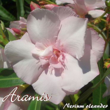 "Oleander ""Aramis"" - Nerium oleander - Größe C1,4 im Rechtecktopf"