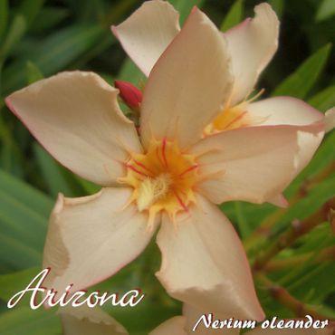 "Oleander ""Arizona"" - Nerium oleander - Größe C03"