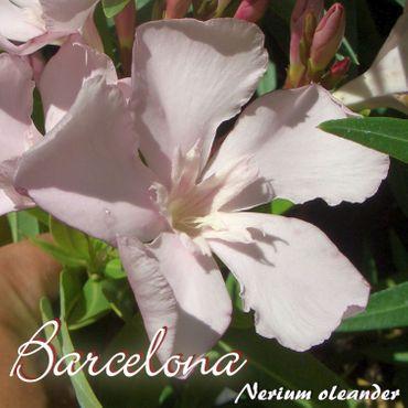 """Oleander """"Barcelona"""" - Nerium oleander - Größe C1,4 im Rechtecktopf"""